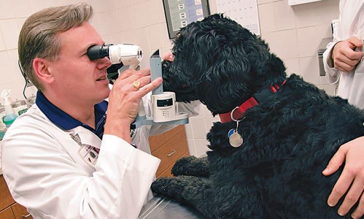 Glaucoma Canino