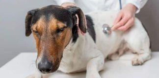 parvovirosis en los perros