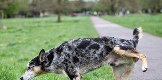 por qué los perros orinan sangre