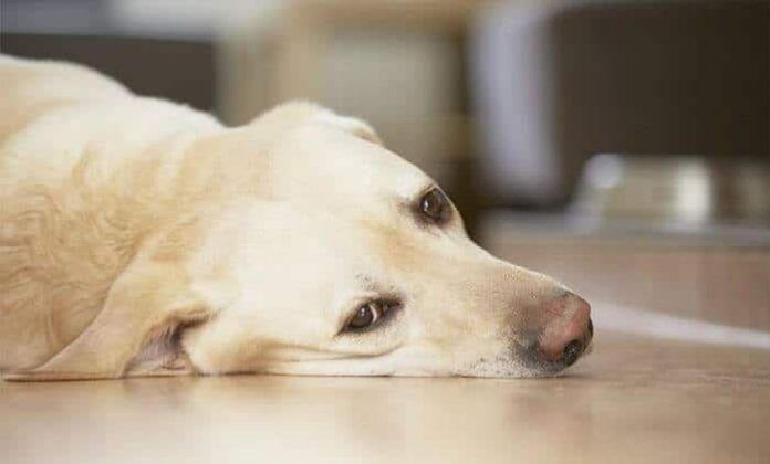 por que mi perro vomita espuma blanca
