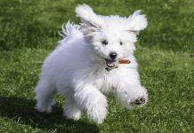 raza de perros maltes