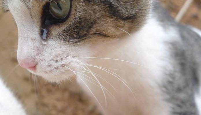 cuando un gato llora