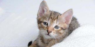 fiebre en gatos