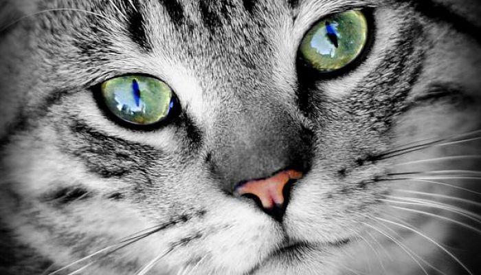 gingivitis en gatos
