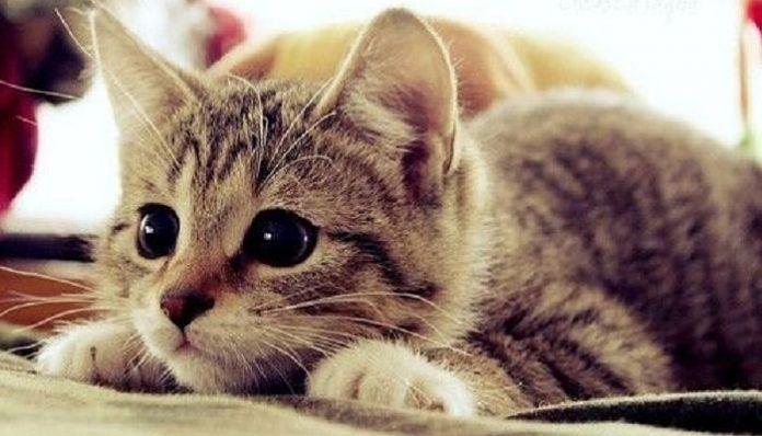 moquillo en gatos