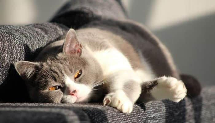 gatos con cistitis
