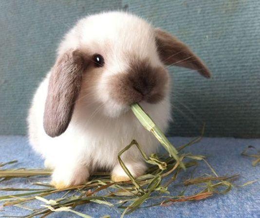 cuantas razas de conejos hay