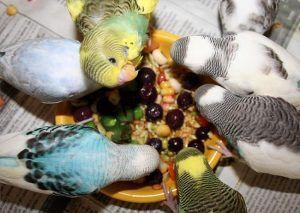 que-alimentos-comen-los-periquitos-australianos-4