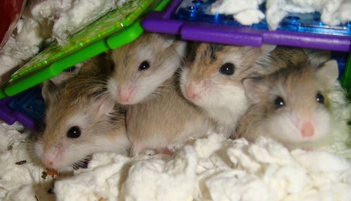 Resultado de imagen de hamster crias