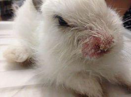 sarna en conejos