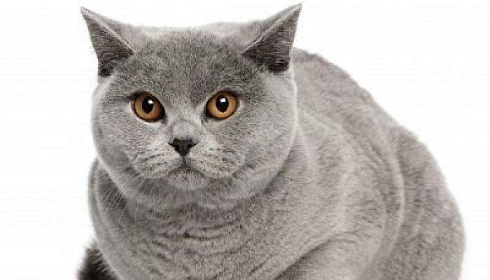 alopecia en gatos