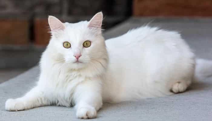 La Alopecia en los gatos