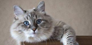 los gatos con alopecia