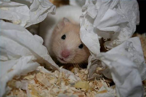 enfermedades-de-los-hamsters-2