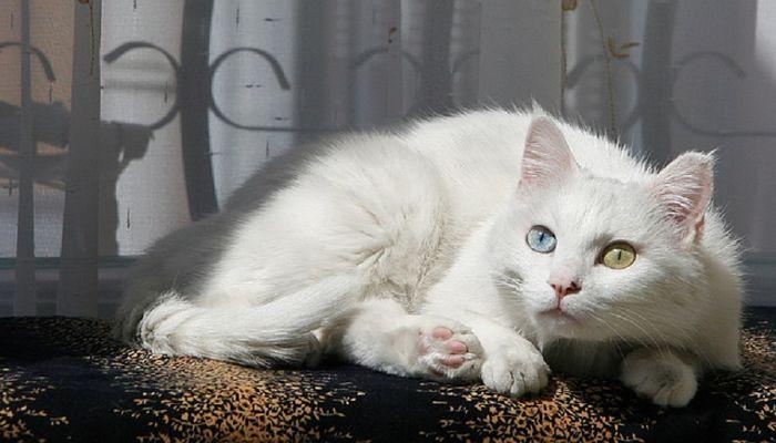 los gatos con heterocromía