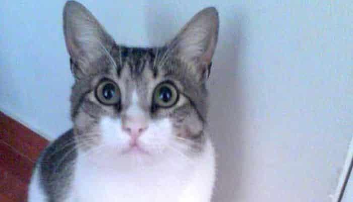 Los Parásitos Intestinales En Gatos