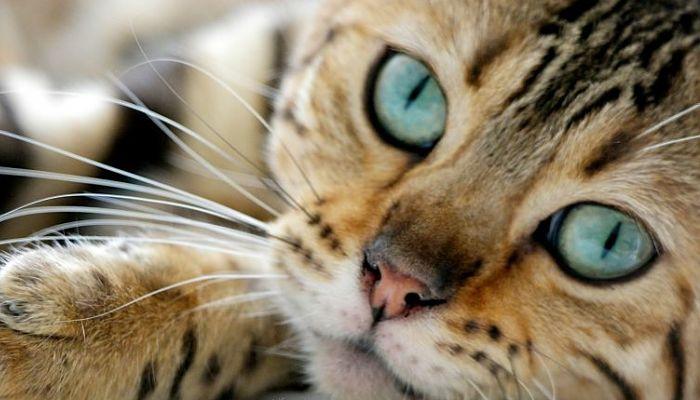 el cáncer en los gatos