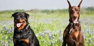 Diferencias Entre Rottweiler y Doberman