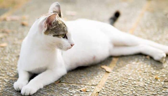 gestación en gatos