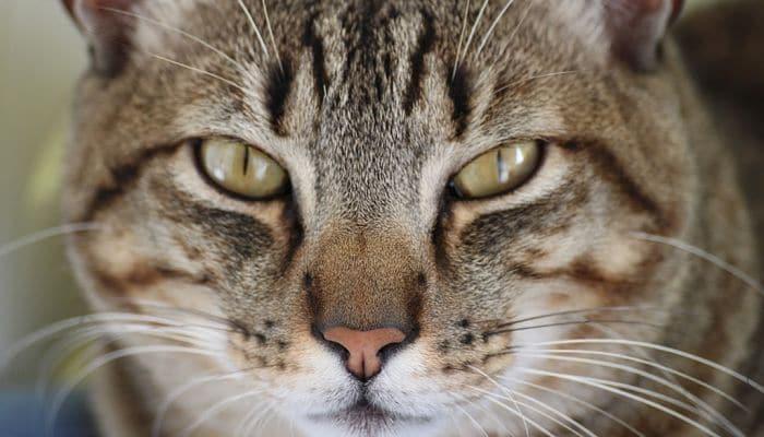 las infecciones del oído en los gatos