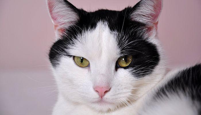 los gatos y las infecciones en el oído