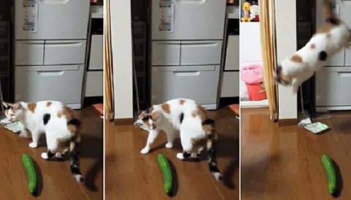 los gatos odian los pepinos