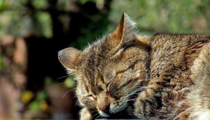 los micoplasma en los gatos