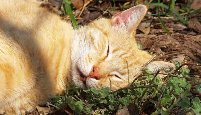 planta que droga a los gatos
