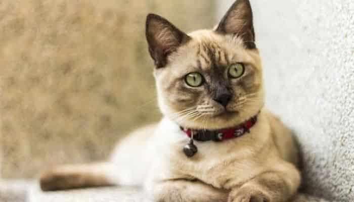 las pulgas en gatos