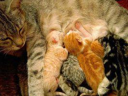 qué tiempo de gestación tienen los gatos
