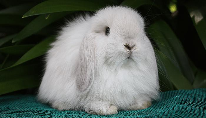 razas-de-conejos-enanos-11