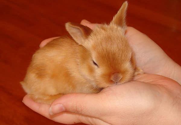 razas-de-conejos-enanos-12