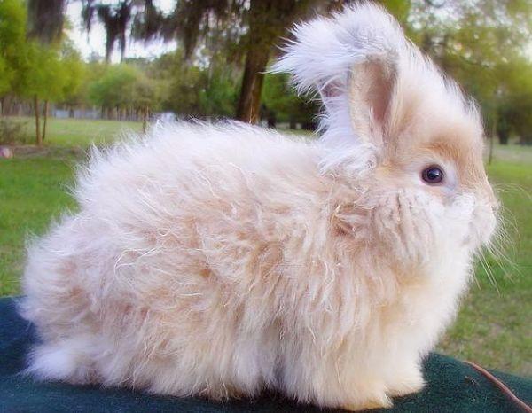 razas-de-conejos-enanos-2