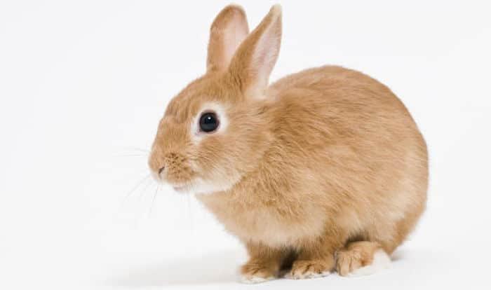 12 Razas De Conejos Enanos: ¡Simplemente Adorables