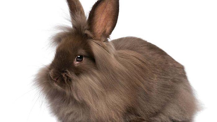 razas-de-conejos-enanos-5