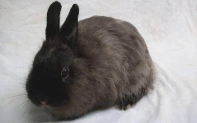 razas-de-conejos-enanos-6