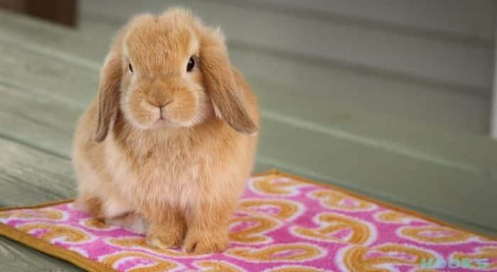 razas-de-conejos-enanos-7