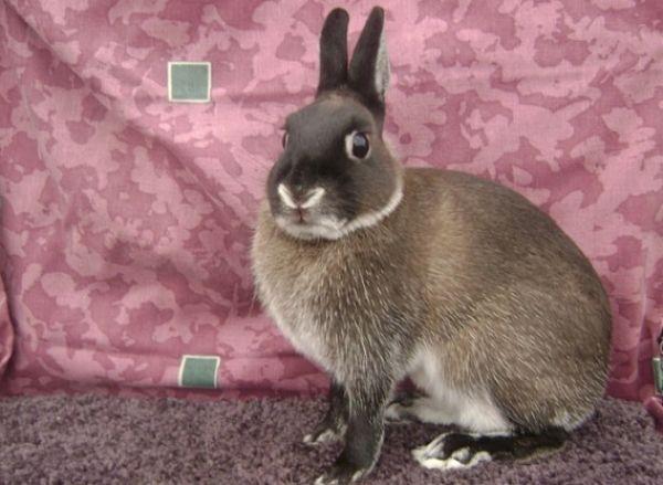 razas-de-conejos-enanos-9