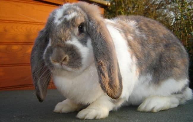Fotos de conejos de razas 89