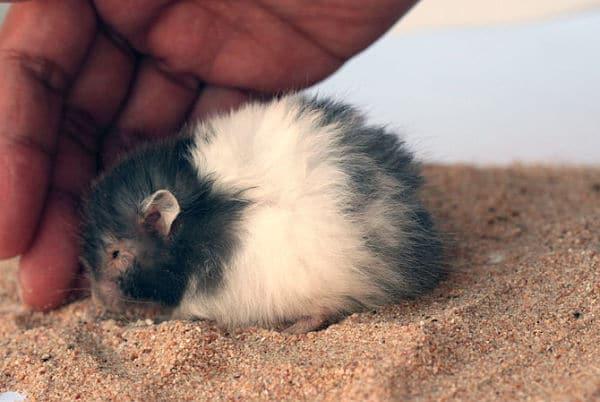 todo-lo-que-se-necesita-para-tener-un-hamster-10