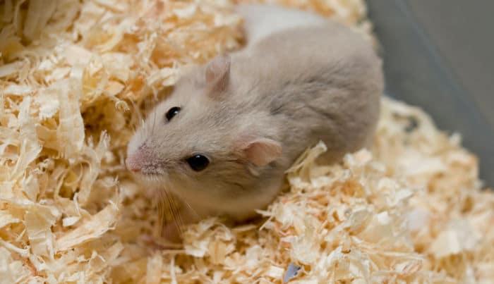 todo-lo-que-se-necesita-para-tener-un-hamster-2