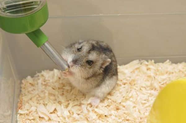 todo-lo-que-se-necesita-para-tener-un-hamster-4