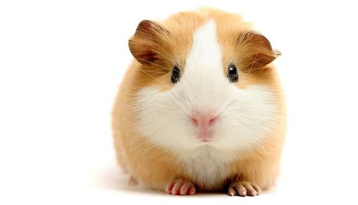 7 beneficios de tener un h mster como mascota en casa - Mascotas originales para tener en casa ...