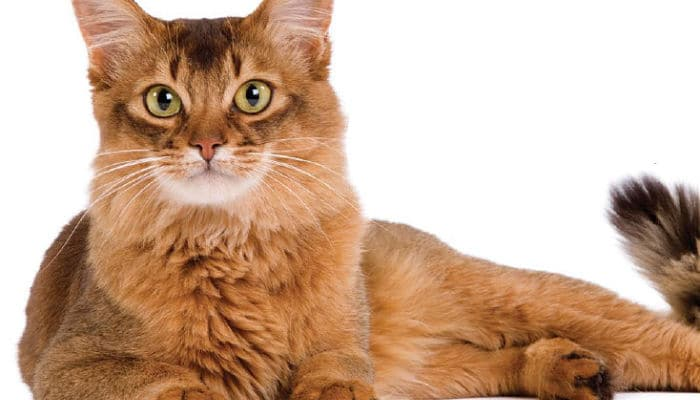 gato somali raza cariñosa