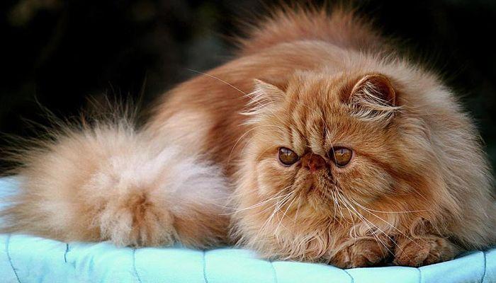 gatos persas razas cariñosa
