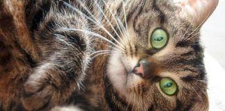 los gatos atigrados que raza son