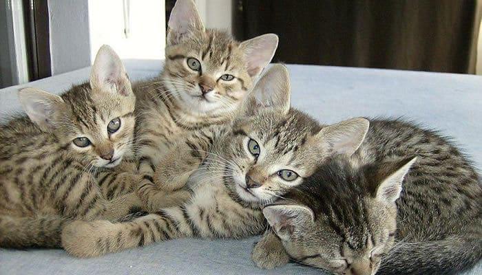 qué tipos de gatos hay en méxico