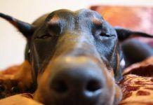 Soñar con perro doberman