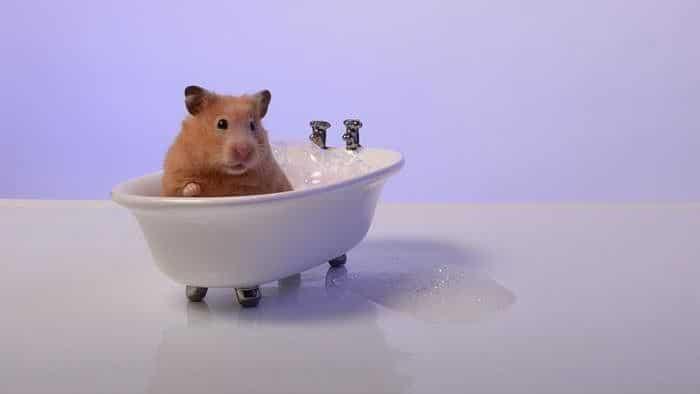 banar-a-un-hamster-1