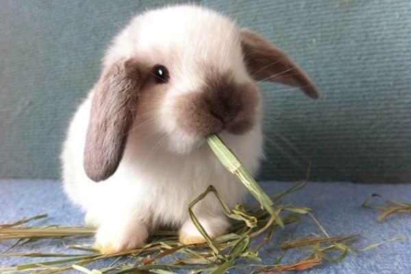 conejos-holland-lop-1